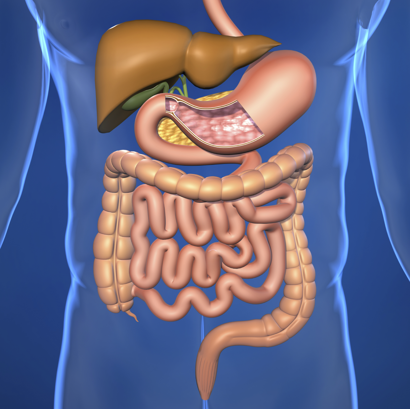 Human Digestive System For Ks1 And Ks2 Children Human Digestive