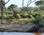 African elephants in a savannah habitat