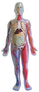 Human Body model, Mulberry Bush