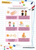 The human life cycle worksheet