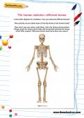 The human skeleton: different bones worksheet