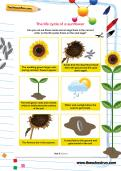 The life cycle of a sunflower worksheet