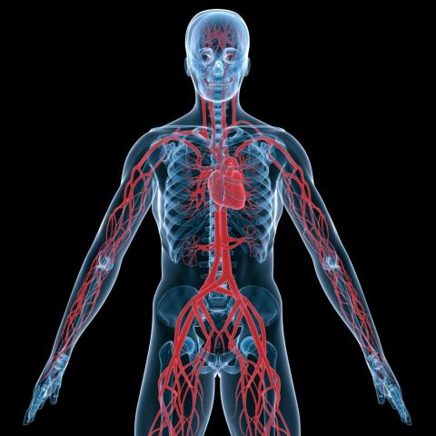 Human circulatory system Homework Gnome