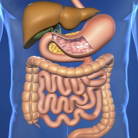 Human digestive system Homework Gnome